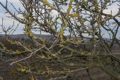 Schaalkorstmos Lepraria Royalty-vrije Stock Foto