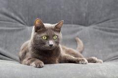 Schaamteloze grijze manchkin die op het hoofdbed liggen en bij camera looing Grijze kat op de rest Stock Afbeeldingen