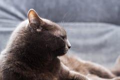 Schaamteloze grijze manchkin die op het hoofdbed liggen en bij camera looing Grijze kat op de rest Stock Foto
