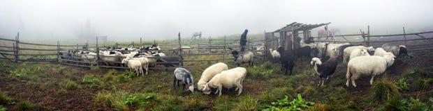 Schaap-herders van de Hutsulsmelk stock afbeeldingen