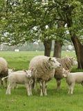 Schaap, Sheep royalty free stock photo