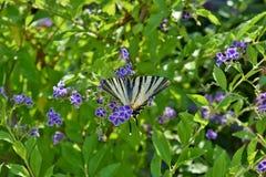 Schaars Swallowtail-vlinderspecimen op Duranta-bloemen royalty-vrije stock afbeelding
