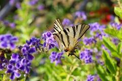 Schaars Swallowtail-vlinderspecimen op Duranta-bloemen stock afbeelding