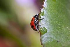 Schaars zeven-Bevlekt Onzelieveheersbeestje - Coccinella Magnifica stock foto's