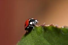 Schaars zeven-Bevlekt Onzelieveheersbeestje - Coccinella Magnifica stock afbeeldingen