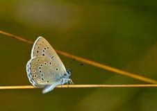Schaarse grote blauwe (Maculinea-teleius) vlinder Stock Fotografie