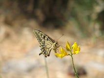 Schaarse Swallowtail Stock Foto