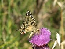 Schaarse Swallowtail Royalty-vrije Stock Afbeelding