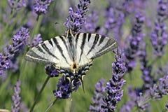 Schaarse Swallowtail bij de Bloei van de Lavendel, Frankrijk Royalty-vrije Stock Afbeeldingen
