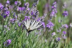 Schaarse Swallowtail-vlinderzitting op wilde lavendelbloemen Iphiclidespodalirius royalty-vrije stock foto's