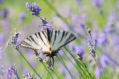 Schaarse Swallowtail-vlinderzitting op wilde lavendelbloemen Iphiclidespodalirius royalty-vrije stock afbeeldingen