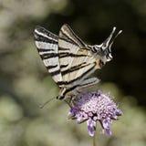 Schaarse swallowtail, Zeil swallowtail van Europa royalty-vrije stock afbeeldingen