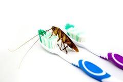 Schabe auf der Zahnbürste lokalisiert auf weißem Hintergrund ansteckung Stockfoto