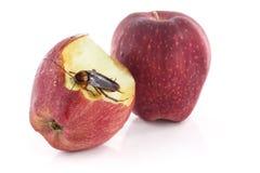 Schabe, die auf einem roten Apfel, Bild lokalisiert auf w sitzt und isst Lizenzfreies Stockfoto