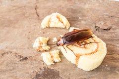 Schabe, die ein Brot isst Lizenzfreie Stockbilder