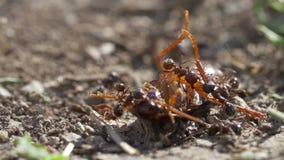 Schabe gegen Ameisen stock video