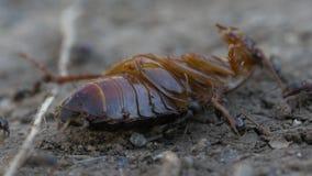 Schabe gegen Ameisen stock video footage