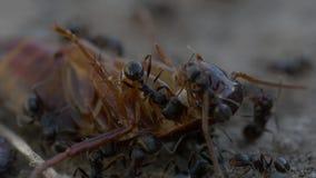 Schabe gegen Ameisen stock footage