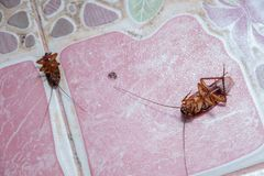 Schaben sterben wegen der Insektenvertilgungsmittel stockfotografie
