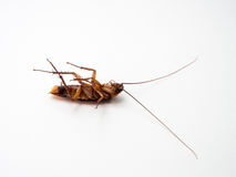 Schaben tragen Krankheiten, die Sie beseitigen müssen Stockbilder