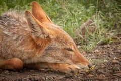Schabrackenschakal im wilden in Kwazulu Natal Stockfotografie
