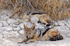Schabrackenschakal zwei (Canis mesomelas) liegend in Etosha-Park Lizenzfreie Stockfotos