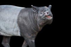 Schabrackentapir lokalisiert auf schwarzem Hintergrund Asiatischer Tapir lizenzfreies stockfoto