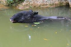 Schabrackentapir Tapirus indicus im Wasser lizenzfreie stockfotos