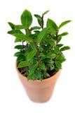 Schacht-Lorbeer (Laurus nobilis) lizenzfreies stockbild