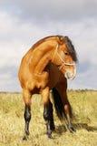 Schacht Stallion Stockbilder