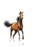 Schacht Stallion getrennt Lizenzfreie Stockbilder