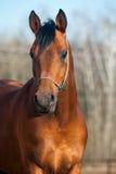 Schachtaraber Stallion Lizenzfreie Stockfotografie