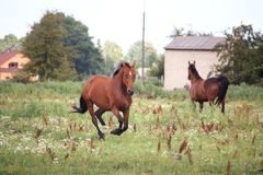 Schachtpferd, das frei an der Weide galoppiert Lizenzfreies Stockfoto
