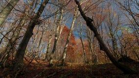Schackningsperiod för tid för skuggor för sol för höstskogträd