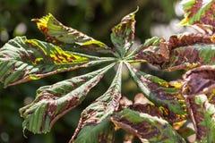 Schade aan de bladeren van ohridella van de mottencameraria van de kastanjemijnwerker stock foto