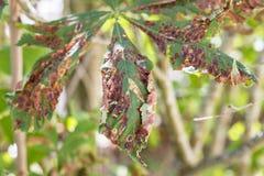 Schade aan de bladeren van ohridella van de mottencameraria van de kastanjemijnwerker stock afbeelding