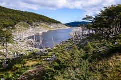 Schade door bevers en beverdam in Dientes DE Navarino, Isla Navarino, Chili wordt gemaakt dat Royalty-vrije Stock Foto
