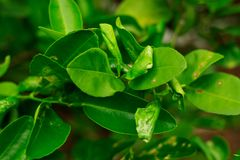Schade duidelijk van het ongedierte van het citrusvruchten leafminer insect op kalkblad stock afbeelding