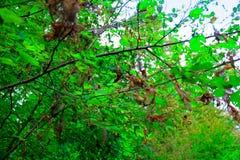 Schade van boomblad met door ongedierterupsband royalty-vrije stock afbeeldingen