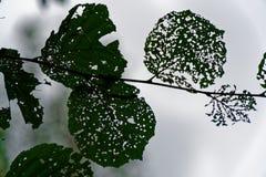 Schade van boomblad met door ongedierterupsband stock fotografie