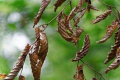 Schade van boomblad met door ongedierterupsband royalty-vrije stock fotografie