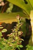 Schade van heilige basilicumbladeren van het zuigen van insect, insect stock afbeelding