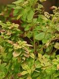 Schade van heilige basilicumbladeren van het zuigen van insect, insect royalty-vrije stock foto