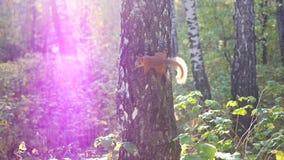 Schadelijke eekhoornsprongen op een boom en het golven van zijn staart stock footage