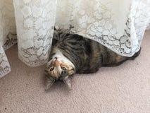 Schadelijke Tabby Tortoiseshell Girl Cat Stock Afbeelding