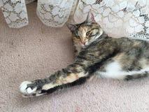 Schadelijke Tabby Tortoiseshell Girl Cat Stock Fotografie