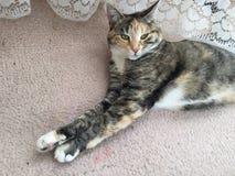 Schadelijke Tabby Tortoiseshell Girl Cat Stock Foto's