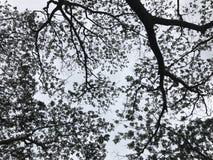 Schaduw met schuchterheidshiaat van bomen Stock Afbeeldingen