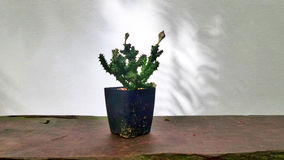 Schaduw van boom op witte muur en cactus in installatiepot op houten tuinbank Royalty-vrije Stock Afbeelding