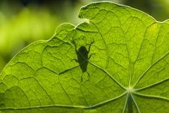 Schaduw van Klein Insect op Oostindische kersblad Royalty-vrije Stock Foto